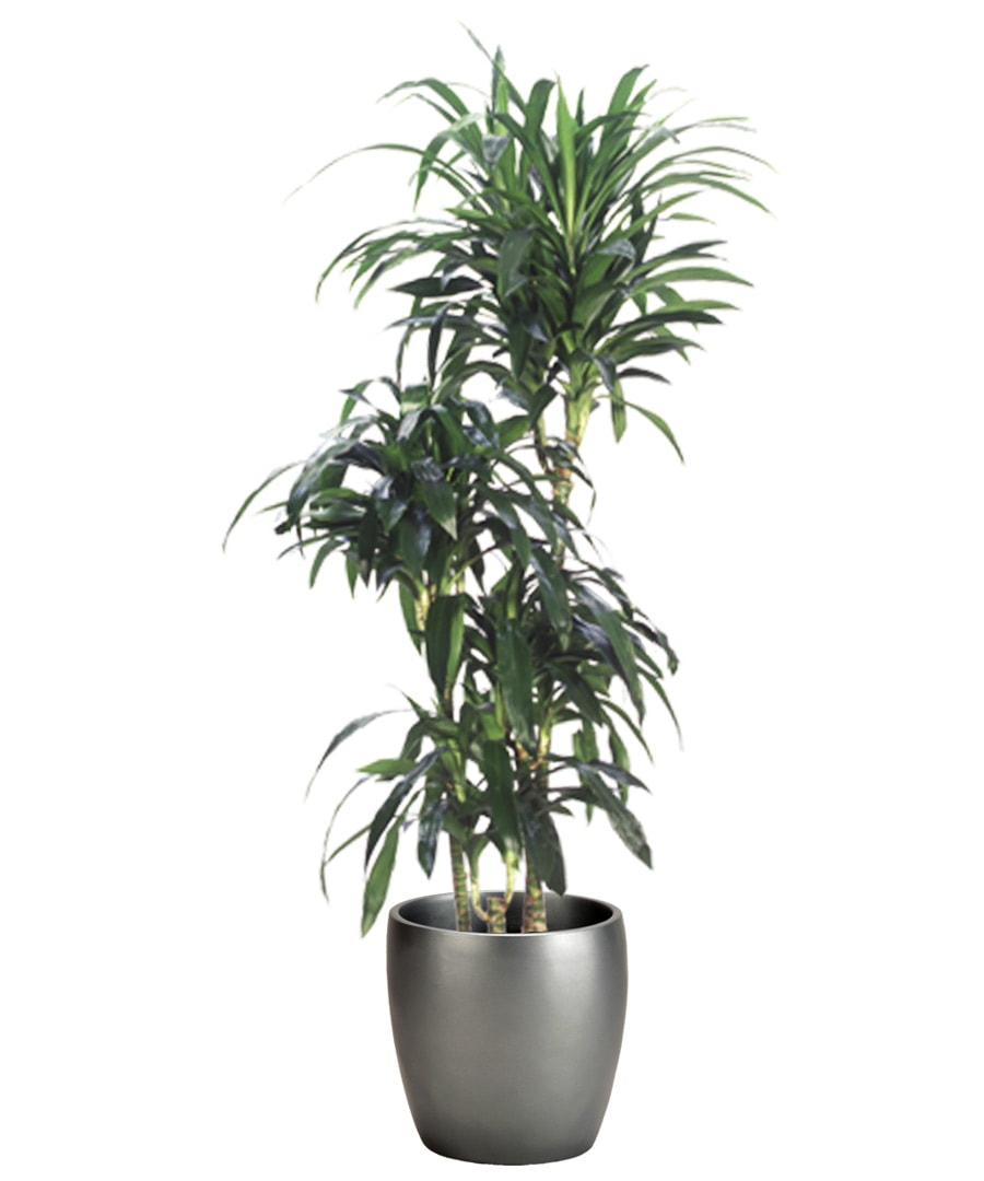 Guide of interior plants for indoor spaces for Plante dracaena