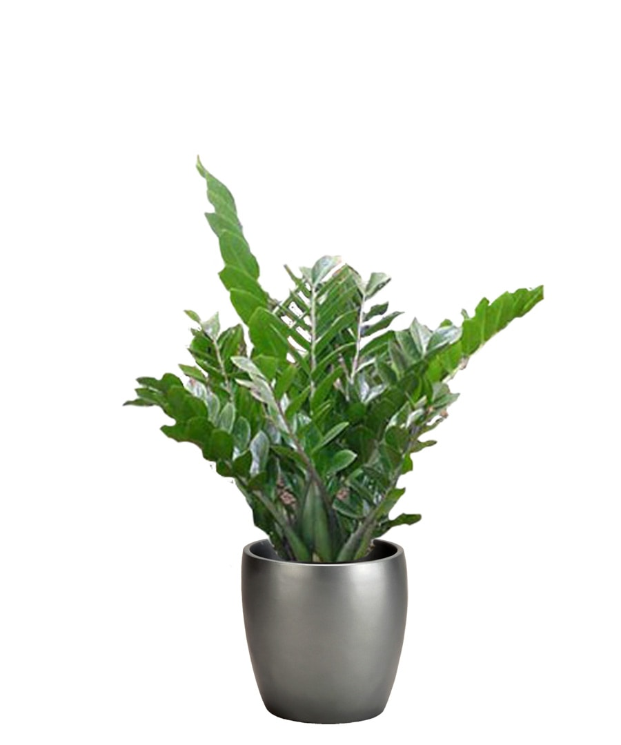 Guide of interior plants for indoor spaces for Plante zamioculcas