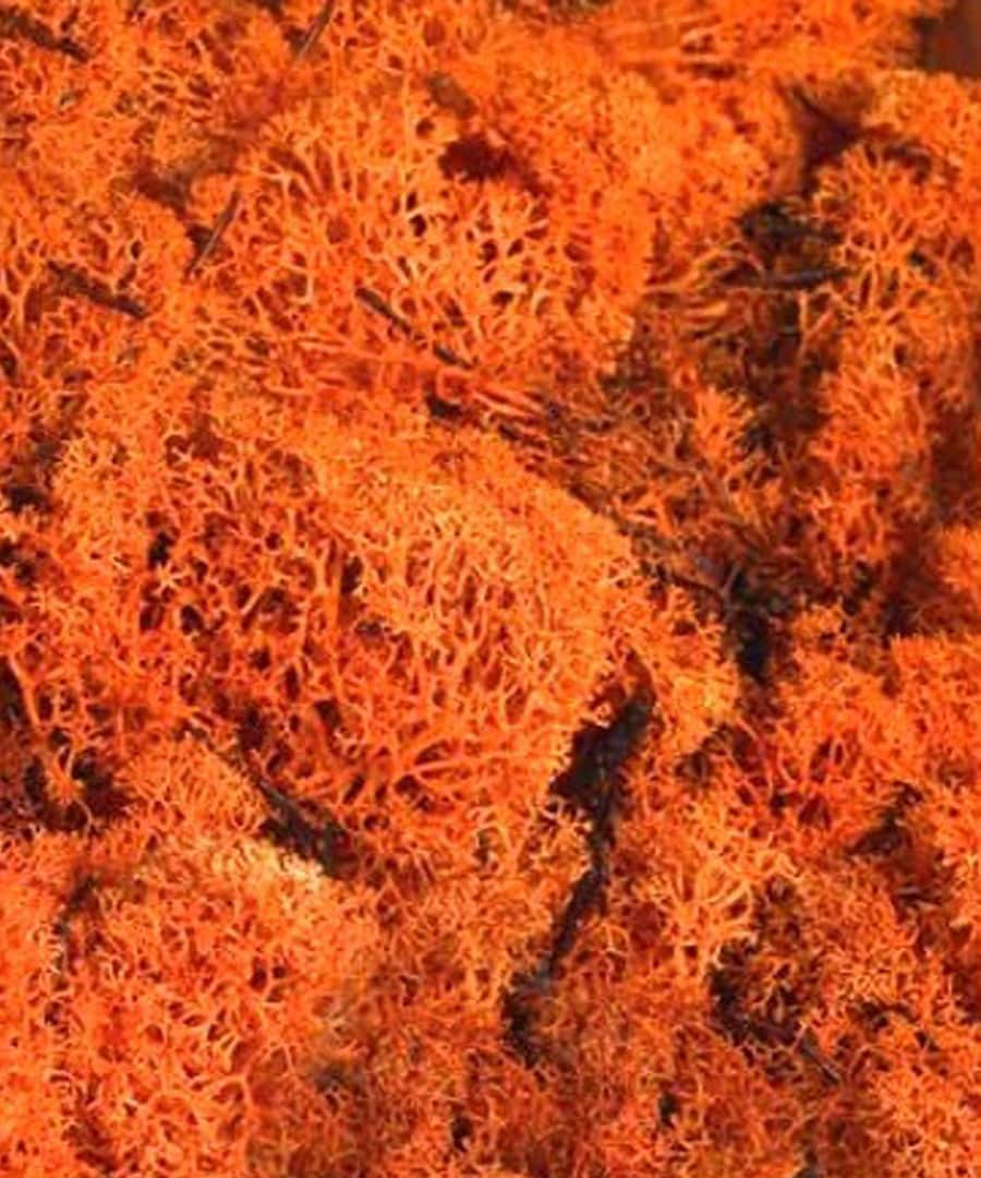 Top Dressing Topdressing Orange Reindeer Moss