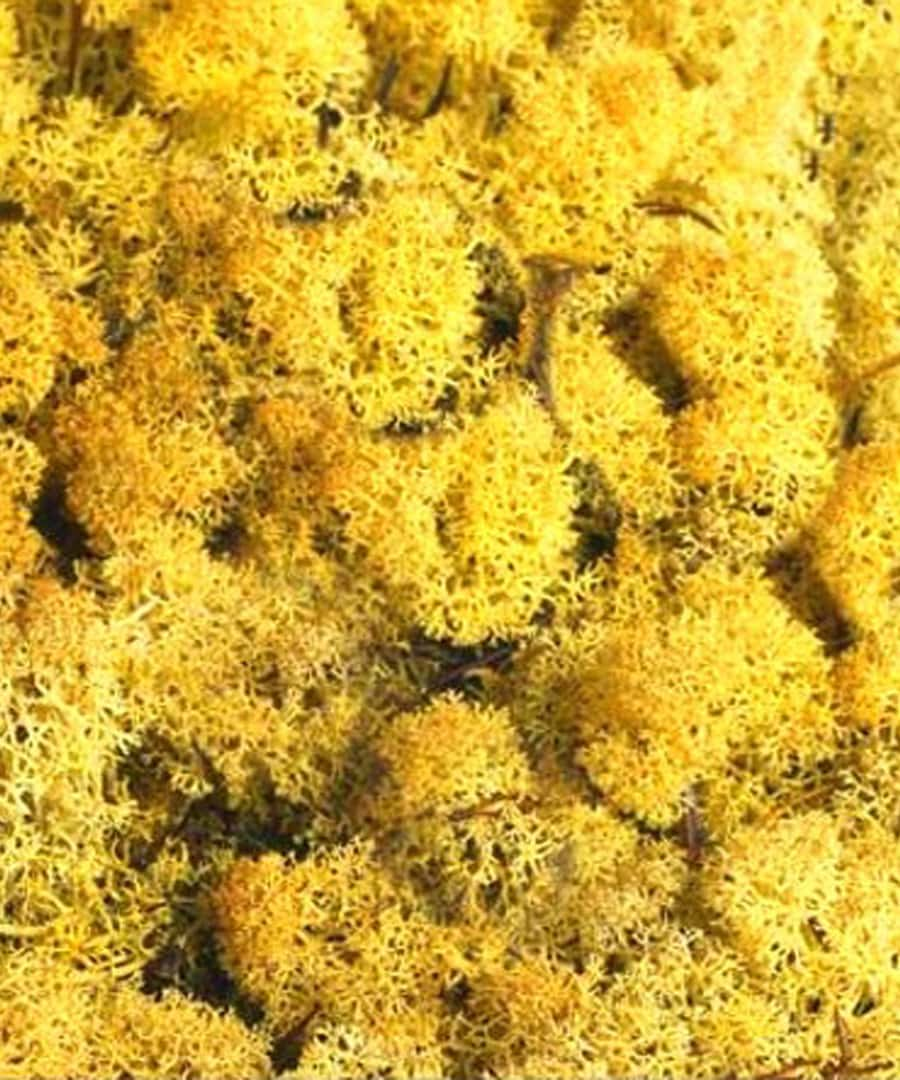 Topdressing Top Dressing Yellow Reindeer Moss