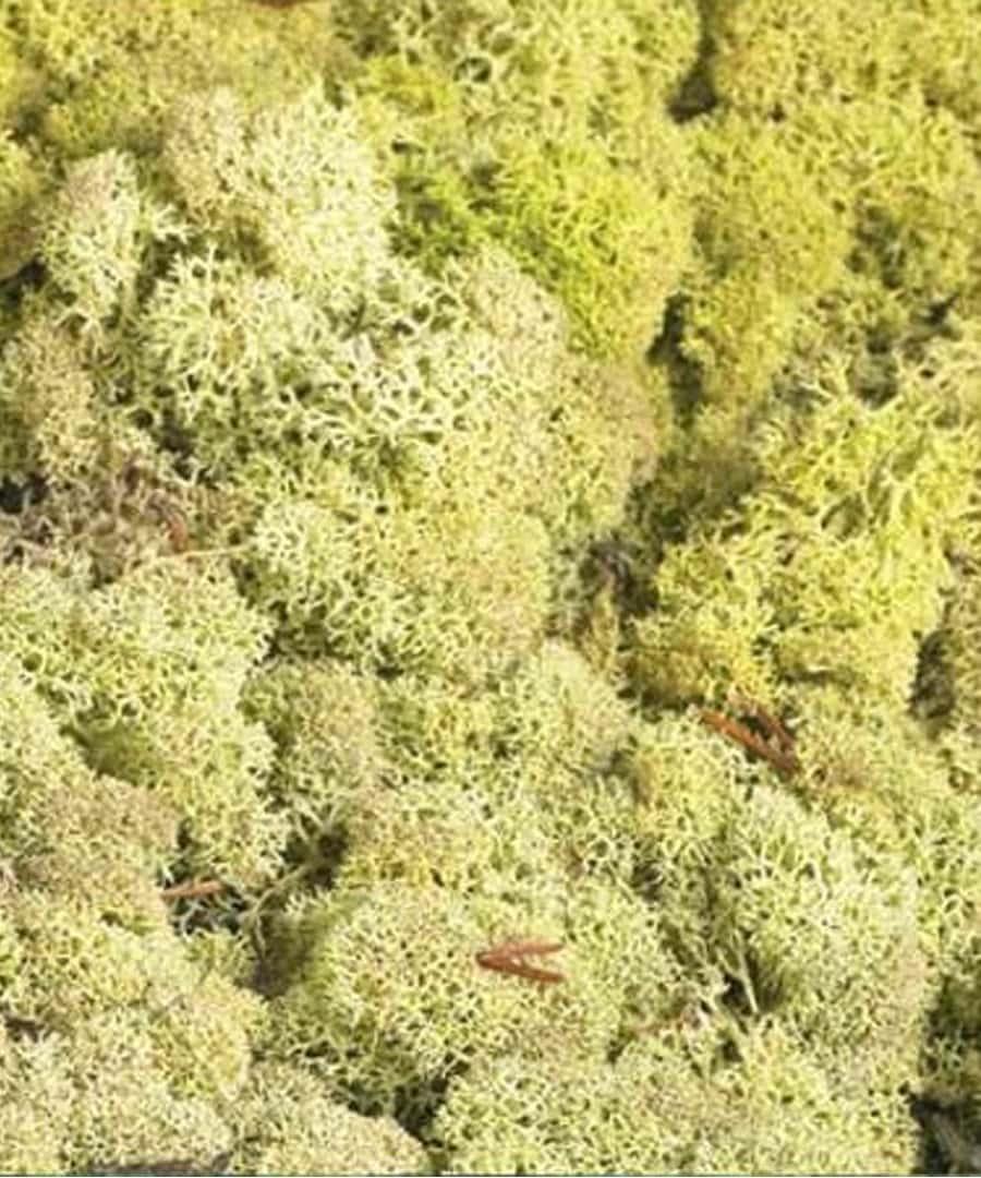 Top Dressing Topdressing Lichen Reindeer Moss